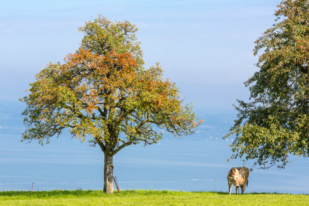 Kuh am Bodensee